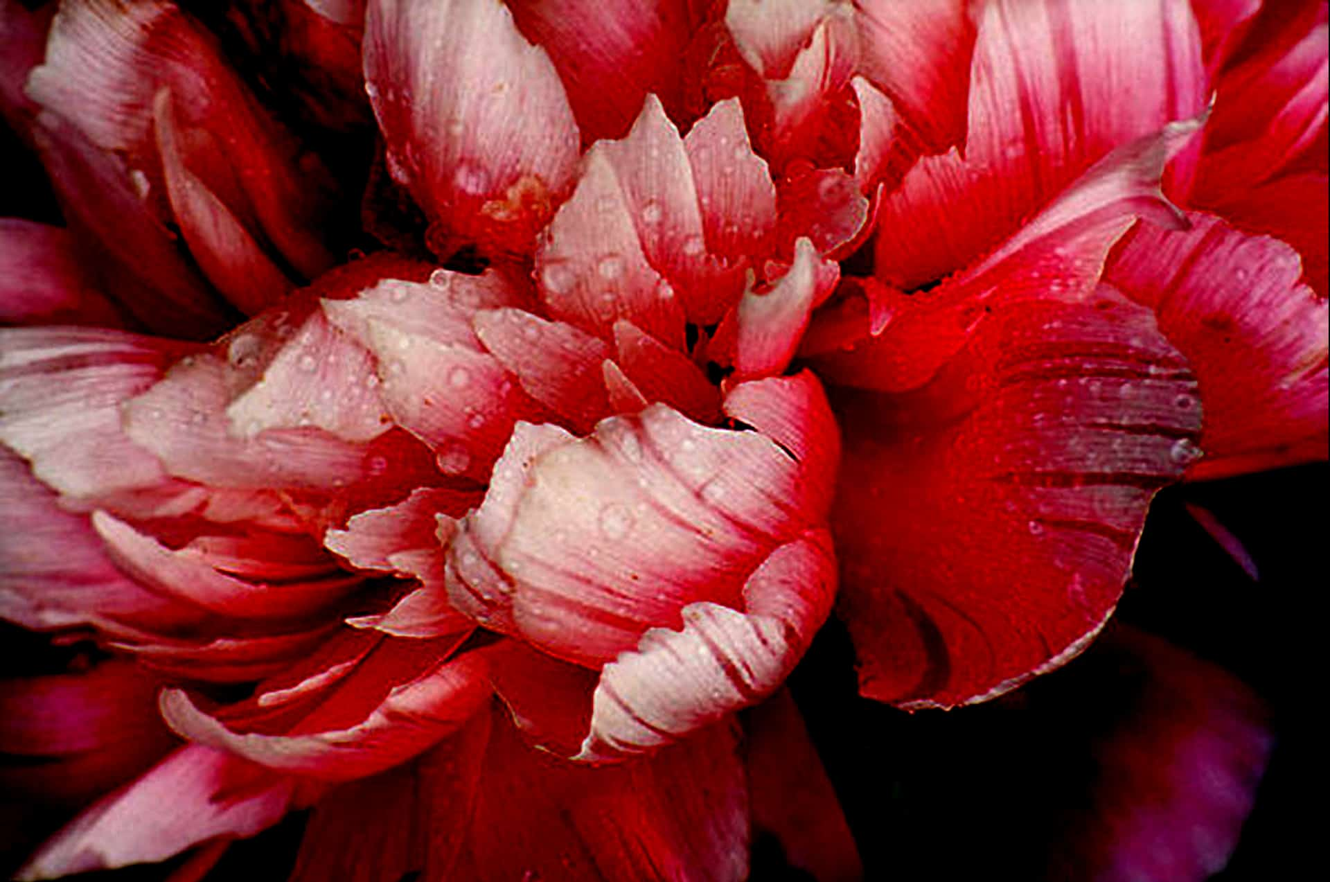 Something beautiful a great peonie flower